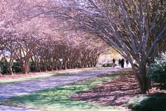 Crepe Myrtle Lined Driveway