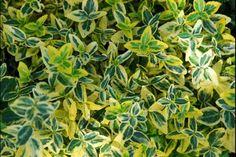 Euonymus fortunei 'Emerald 'n Gold' - Kardinaalsmuts 'Emerald 'n Gold' Emerald, Herbs, Garden, Gold, Small Gardens, Charcoal Picture, Shrub, Plants, Garten