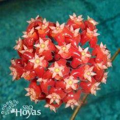 Hoya ilagiorum [Family: Apocynaceae]