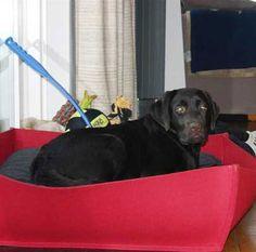 Modernes Hundebett Bowl in Filz für die kleine Labrador Hündin.