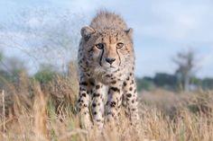 Cheetah in the Okavango Delta, Botswana. Photo: Russell Johnson