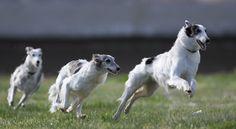Wyndolyn Silken Windhounds