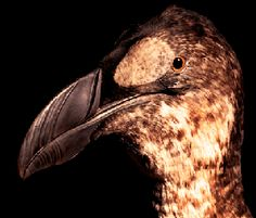 Great Auk   The Zoological Museum contains an extensive collection of animals from Ireland and abroad from a total collection of approximately 25,000  specimens.   Re-Opens to the public in June 2016   Trinity College Dublin   Wildlife   Ireland