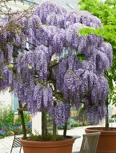 Fragrant Purple Flowers- Now in Tree Form!!So I'm still watting to get mine wisteria love my lilacs ,and families all kinds of trees and flowers and my vegts. Hello full spring all gardens full and my pineapples are so growing so beautiful.BUT still waiting for my favorite tree.