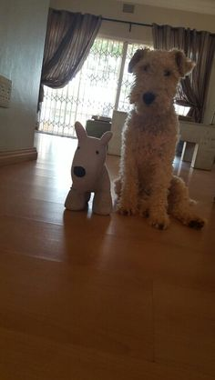 Wire Fox Terrier - How much longer mum..  Wire Fox Terrier 1fe62b98b061