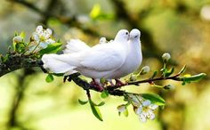 In the spring , love birds** Pretty Birds, Love Birds, Beautiful Birds, Animals Beautiful, Cute Animals, Small Birds, Beautiful Couple, Dove Pigeon, King Pigeon