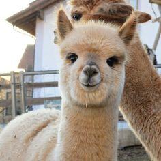 mom loves llamas and alpacas Baby Animals Pictures, Cute Animal Pictures, Cute Little Animals, Cute Funny Animals, Alpacas, Fluffy Animals, Animals And Pets, Smiling Animals, Cute Puppies