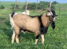 The Kiko goat was developed exclusively by Goatex Group LLC, a New Zealand corporation which has been solely responsible for the breeding of Kiko goats in New Zealand.