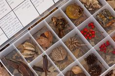 """cabinet of curiosities"" pic from an interesting blog post about imitating Lewis and Clark's journals in your own area."