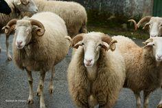ovelha bordaleira