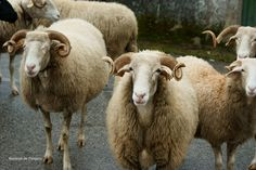 I'm researching the beautiful Bordeleira sheep  from the the Serra da Estrela region in Portugal!!!