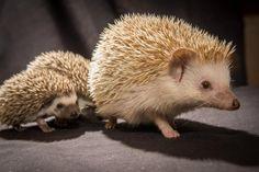Hedgehog + Hoglets