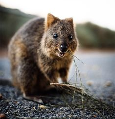 Things that make you go AWW! Like puppies, bunnies, babies, and so on. A place for really cute pictures and videos! Happy Animals, Farm Animals, Funny Animals, Cute Animals, Quokka Animal, Country Critters, Secluded Beach, Animals Of The World, White Sand Beach