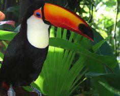 toucans | toco toucan tortola
