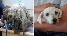 Shrek was found barely moving, with legs covered in sores and fur caked with mud. After his excess hair was removed and his wounds were cared for, he was discovered to be a 6-year-old malti-poo dog that had been raised at a puppy mill. Soon Shrek found a loving home. (Image Credits: Park Road Veterinary Clinic)