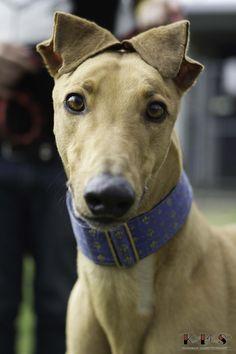 My favorite greyhound ear position ;)