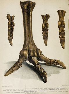 "|| Bones of right foot of the extinct bird Moa (New Zealand) - from ""A Pictorial Atlas of Fossil Remains"", containing illustrations from Parkinson's ""Organic Remains of a Former World,"" and Artis' ""Antediluvian Phytology"" with descriptions by Gideon Algernon Mantel"