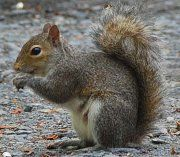 Squirrels can cause many problems around your house, especially in your attic. We provide squirrel removal service in Houston, Austin, Dallas & Fort Worth