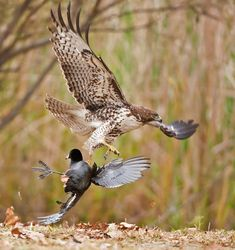 Redtail and the coot 2 By: Monte Stinnett. Birds In The Sky, Love Birds, Beautiful Birds, Photo Animaliere, Red Tailed Hawk, Draw On Photos, Wild Creatures, Birds Of Prey, Nature Images