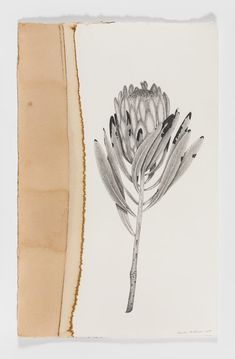 Infused Series: Protea 'Pink Ice' (Protea neriifolia) , Emilie Patteson (Photograph by David Paterson), pencil on paper dyed with protea flowers, x Plant Illustration, Pencil Illustration, Botanical Illustration, Watercolor Illustration, Flor Protea, Protea Flower, Australian Native Flowers, Australian Art, Watercolor Paintings Nature