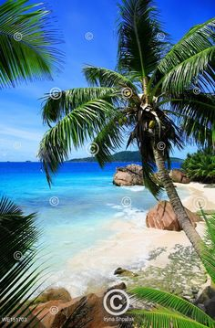 Palmová pláž na Seychelách; Palm tree with rocks, Anse Patates Beach, Island La Digue, Republic of Seychelles. Island Felicite in the background.