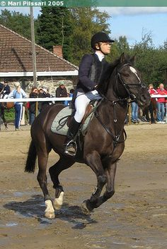 Estonian Native gelding Ruubik