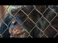 """THE TURNING POINT :  What Wise and """"Unlocking the Cage"""" hope to show is that chimps, because of their similarities to humans, deserve these basic legal rights, allowing someone to step in and sue on their behalf, with the ideal result being their release into the care of sanctuaries or back into the wild. Watch the trailer….."""