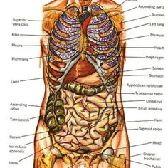 Human    Organs       Diagram       Back    View   Health and Wellbeing