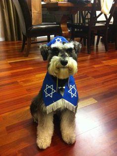 Jewish Schnauzer prepares Dog Bar Mitzvah