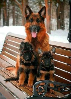 Семейное фото #germanshepherd