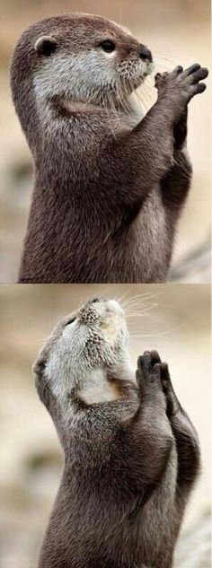 This sweet otter is looking for Devine Intervention, and or Giving Praise & Thanksgiving to the Holy One. Or maybe he's just like: TGIF!! (Thank God it's Friday!!) Love this picture! :)  ❤️