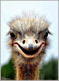 the not-so beautiful, but oh-so-interesting face of an ostrich