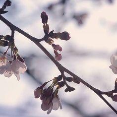 【orangeshower】さんのInstagramをピンしています。 《20170108 おはようございます。  今朝は今にも降りだしそうな空です☁。 。 また去年のですがー😅。 。 今年はわたしの桜も咲いたらいいなー🌸。 。 皆さんも良い1日になりますように✨。 。 。 。 Location:岐阜 #igersjp#IG_japan #instagramjapan #jp_gallery #japan_daytime_view #icu_japan #bestjapanpics #screen_archive #as_archive #lovers_nippon  #far_eastphotography #wp_flower #hueart_life #whim_fluffy #whim_life #PHOS_japan #japan_camera #like_photo_jp #ray_moment #tv_flowers #tv_depthoffield #heart_imprint #dofnature #iheartnature #gf_nature…