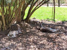 Kangaroo, Australia, Animals, Baby Bjorn, Animales, Animaux, Animal, Animais