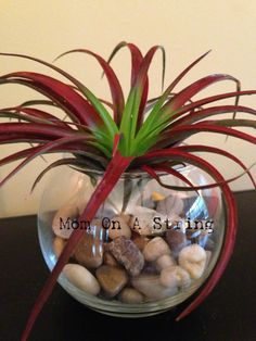 Air plant display Dollar Tree