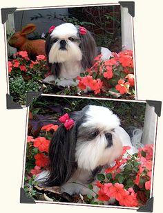 :: Shih Tzu Photos :: Tian Mi Shih Tzu puppies