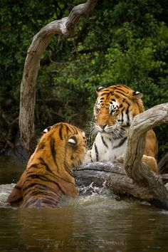 Tiger Log Dispute