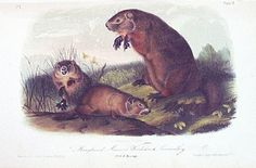 Historical & folklorical groundhogs