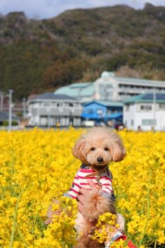 """In Rapeseed """"Toy poodle Roy"""" http://ameblo.jp/20050919ty/entry-11793353834.html"""
