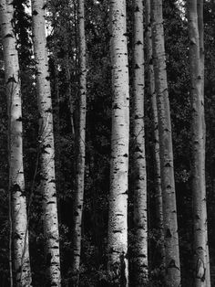 Birch Trees by Brett Weston Edward Weston, Henry Westons, Straight Photography, Classic Photography, Birch Tree Wedding, Edward Steichen, Black And White Tree, Fine Art Posters, Pin Up