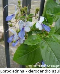 Clerodendro azul paisagismo