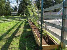 Part 3 Garden Scrapbook: raspberries-planting