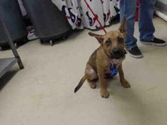 This DOG - ID#A467416 - URGENT - Harris County Animal Shelter in Houston, Texas…