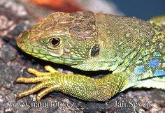 eyed-ocellated-lizard--lacerta_lepida.jpg 600×414 pixels