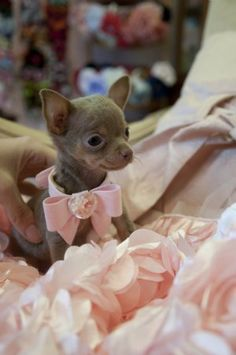Micro Teacup Blue Chocolate Chihuahua Princess 10 oz at 9 weeks! Very Rare Color! SOLD! Found a Loving Family in Texas! - Chihuahua Puppies Teacup Chihuahua For Sale, Blue Chihuahua, Micro Teacup Puppies, Chihuahua Clothes, Puppy Clothes, Blue Chocolate, Cute Baby Animals, Cute Puppies, Pet Dogs