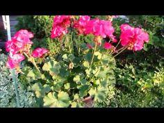 🌸💖My beautiful hanging Geranium flowers in the golden hour💖🌸