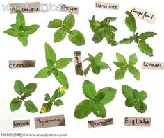 mint+varieties | Mint – There seem to be many species in Europe, but rarely the same ...