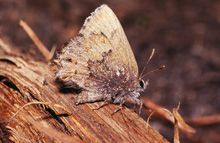 Frosted Elfin: The frosted elfin is another of Ohio's endagered butterlies that feeds on blue lupine. It was never totally eliminated from the Oak Openings, and seems to be doing better with increased stands of its larval host, due to Karner blue conservation efforts.