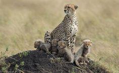 Familia chitas o leopardos.