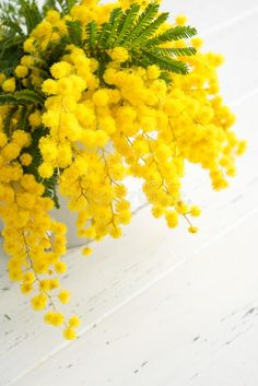 Bouquet Of Mimosa Flowers On White Wooden Background. Springtime Stock Image - Image of arrangement, bouquet: 139537279 Love Flowers, Yellow Flowers, Spring Flowers, Dried Flowers, Beautiful Flowers, Planta Mimosa, Le Mimosa, Yellow Aesthetic Pastel, Yellow Photography